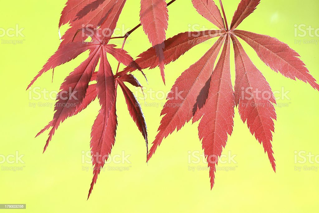 Maple Leaves on Yellow royalty-free stock photo