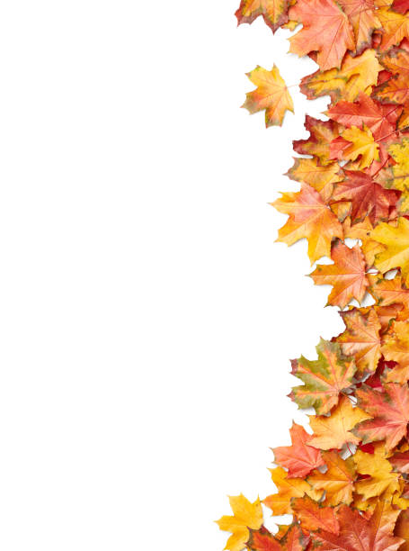 Maple leaves Maple leaves isolated on white background fall leaves stock pictures, royalty-free photos & images