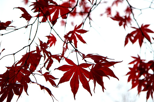 istock Maple leaves 1064563436