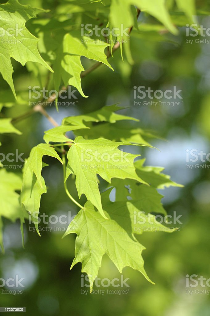 Maple Leaves royalty-free stock photo