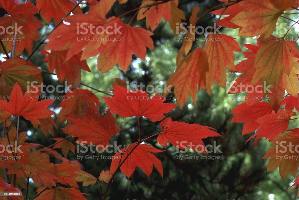 Ahorn Blätter Lizenzfreies stock-foto