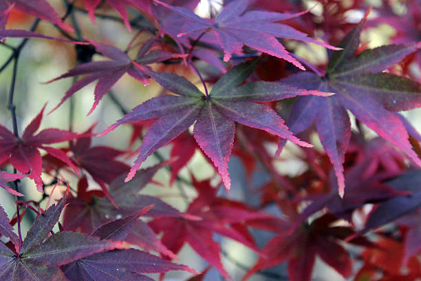 maple leaves turning red in fall - pam schodt stock photos and pictures