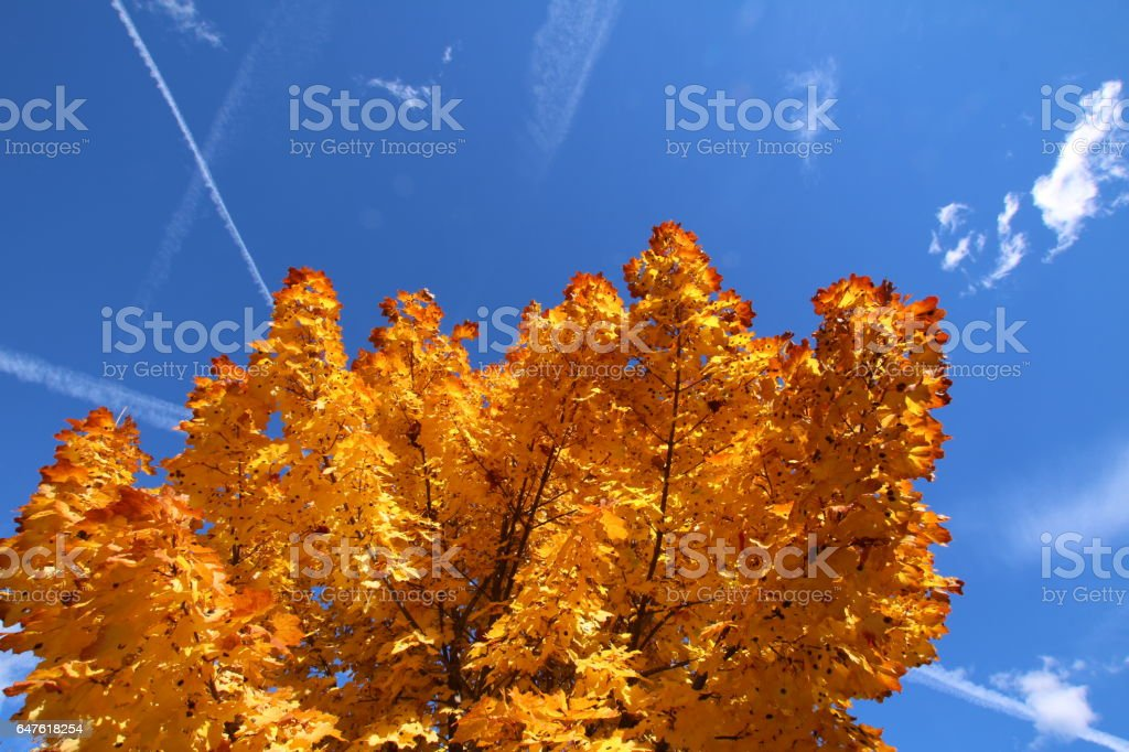 Maple Leaves with Tar Spots during autumn, Osttirol, Austria stock photo