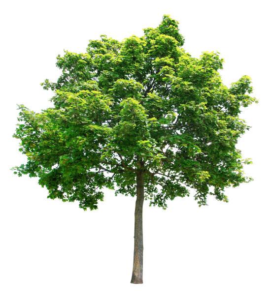 maple on a white background. - tree foto e immagini stock