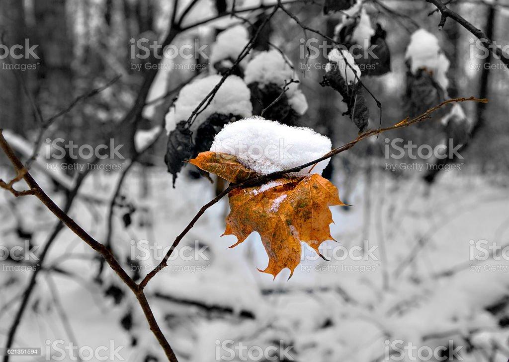 Maple orange leaf with cap of snow – Foto