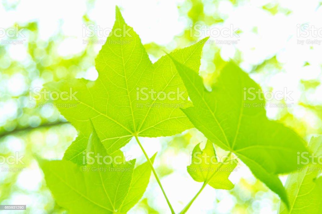 Maple foto stock royalty-free