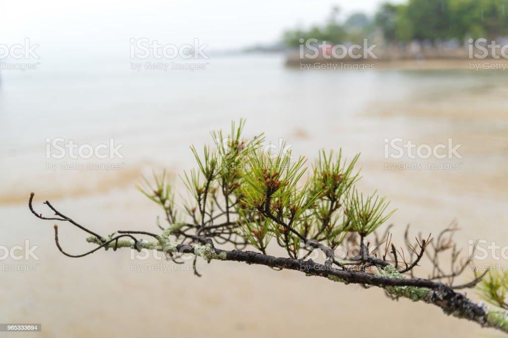 Maple zbiór zdjęć royalty-free