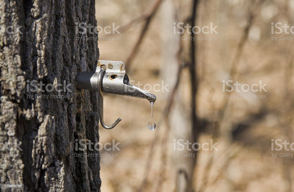 Maple sap dripping from tap in tree trunk royalty-free stock photo