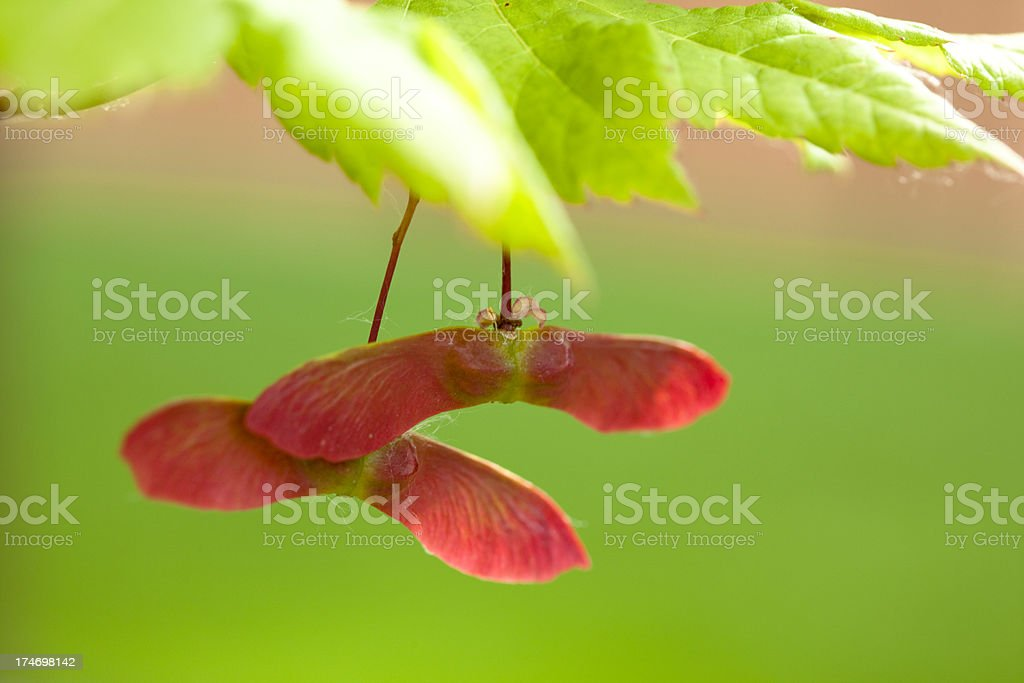 Maple seed stock photo
