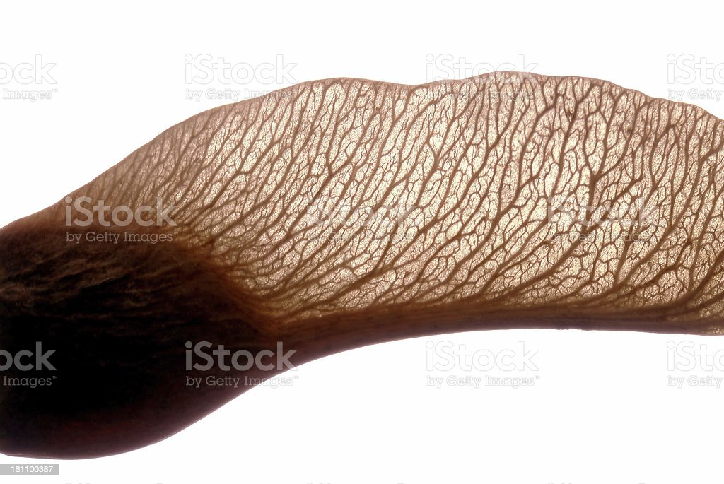 Maple Seed Stock Photo - Download Image Now - iStock