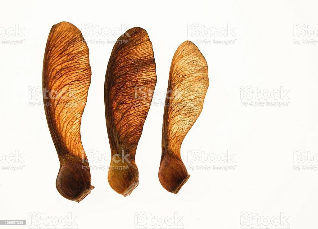 Maple seeds isolated on white background stock photo