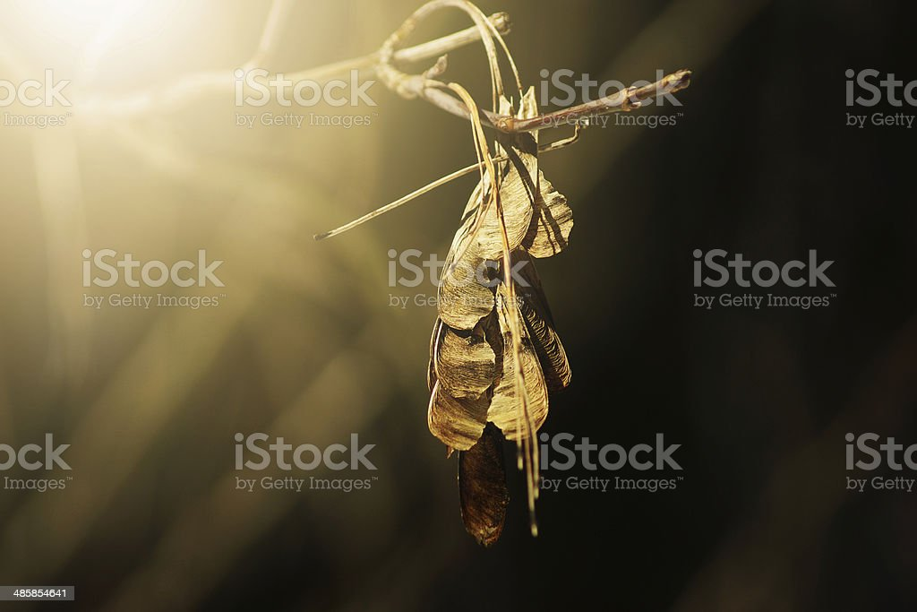 Maple seeds natural sunlight effect royalty-free stock photo