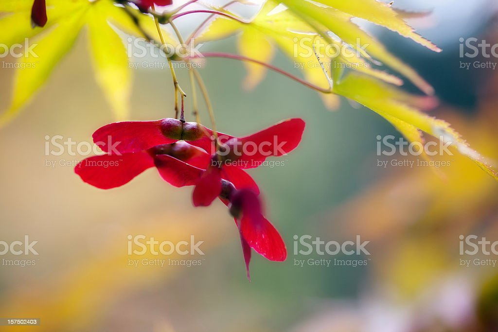 Maple Seeds royalty-free stock photo