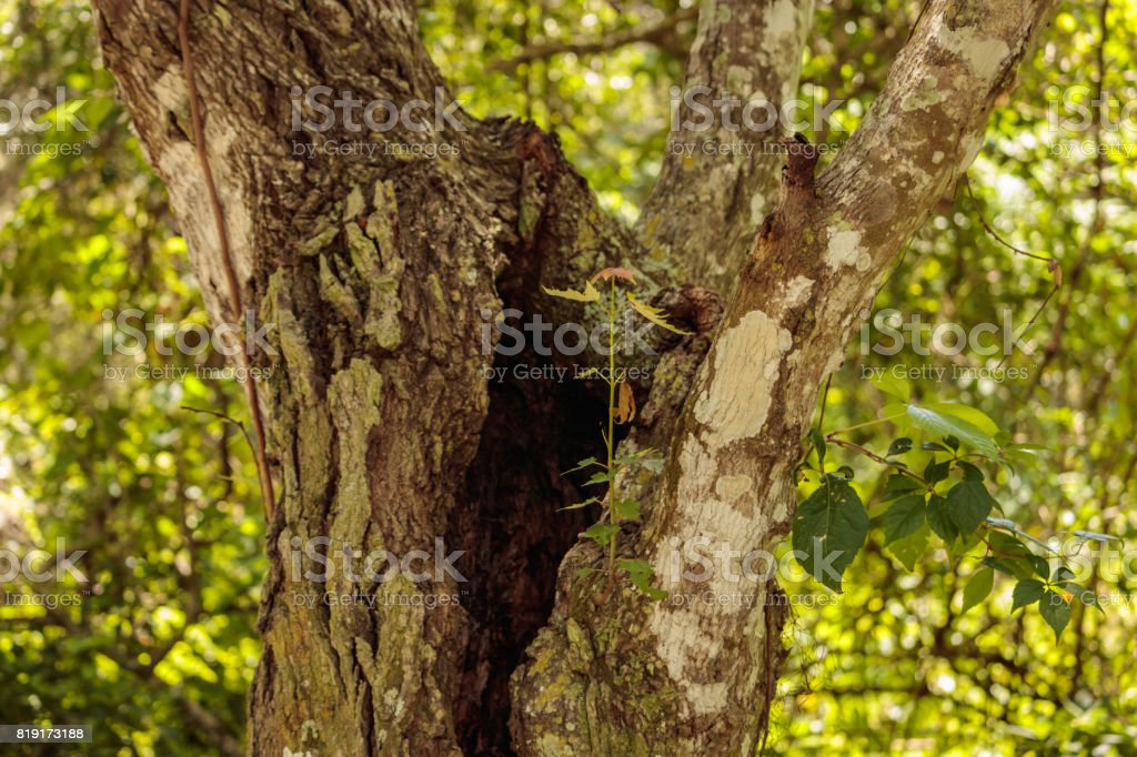 Maple sprout growing on old oak tree trunk stock photo