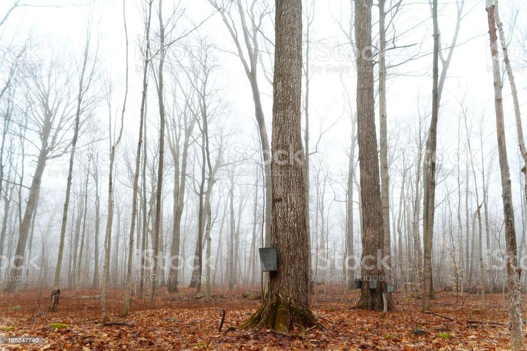 Maple sugar bush royalty-free stock photo