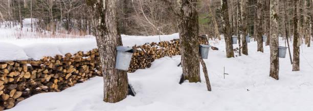 maple sugar bush stock photo