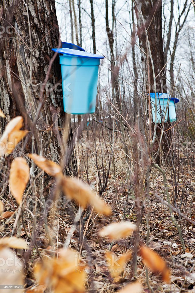 Maple Sugar Sap Collected In Buckets to Produce Maple Syrup stock photo