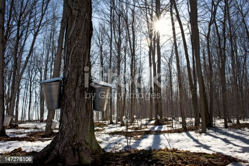 Buckets hanging from maple trees collecting sap for making maple syrup in the spring.