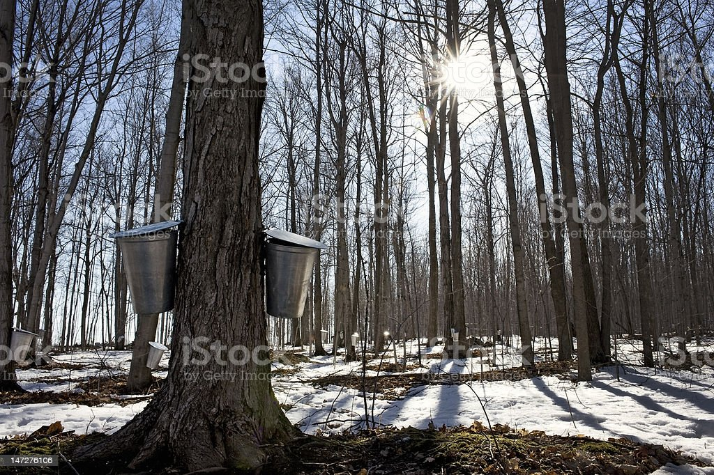 Maple sugar season stock photo