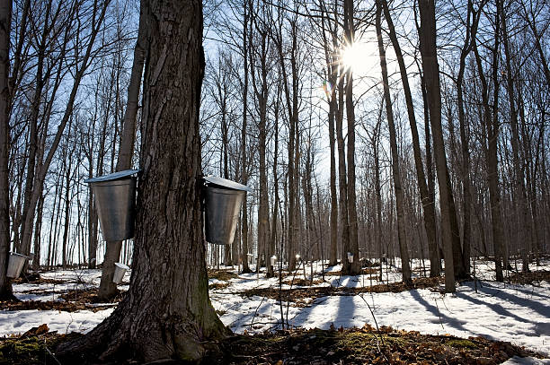 maple sugar season - maple syrup stock photos and pictures