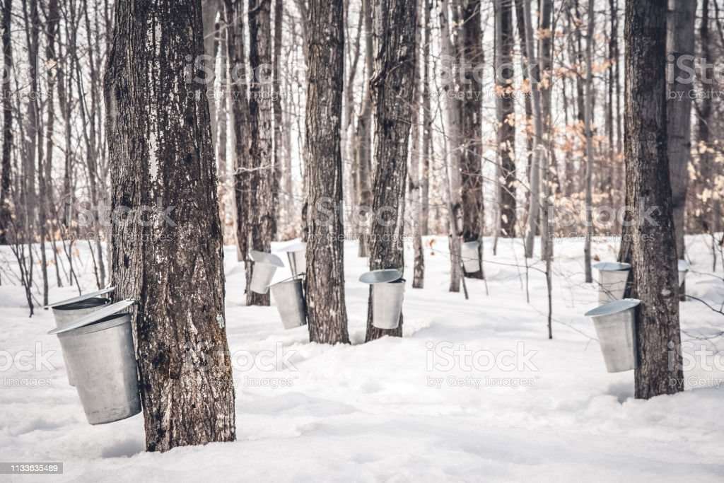Maple syrup production in Quebec Maple syrup production in Quebec. Pails used to collect sap from maple trees in spring. Aluminum Stock Photo