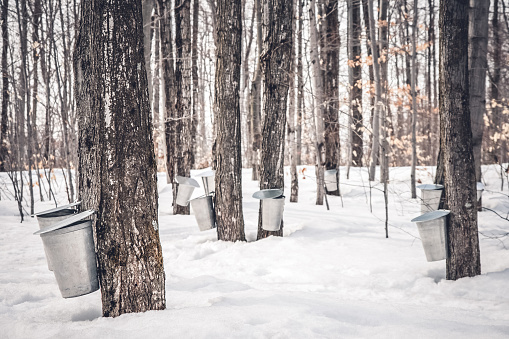 Maple Syrup Production In Quebec Stock Photo - Download Image Now