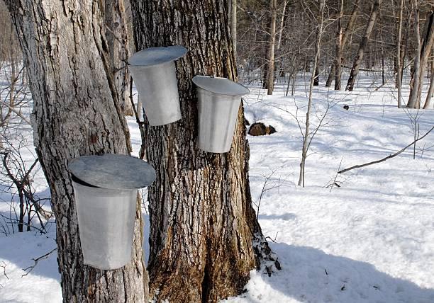 Maple Syrup Zeit – Foto