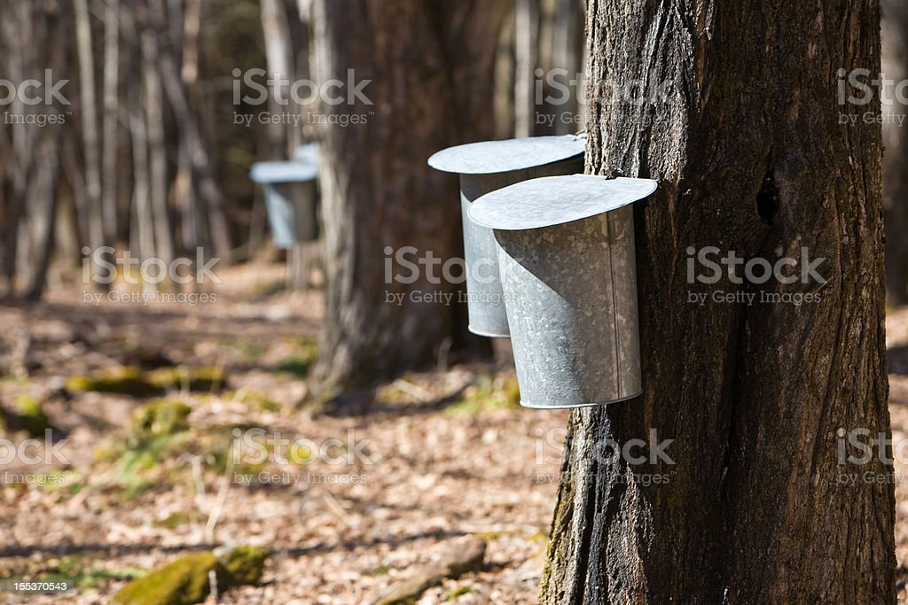 Maple syrup time royalty-free stock photo