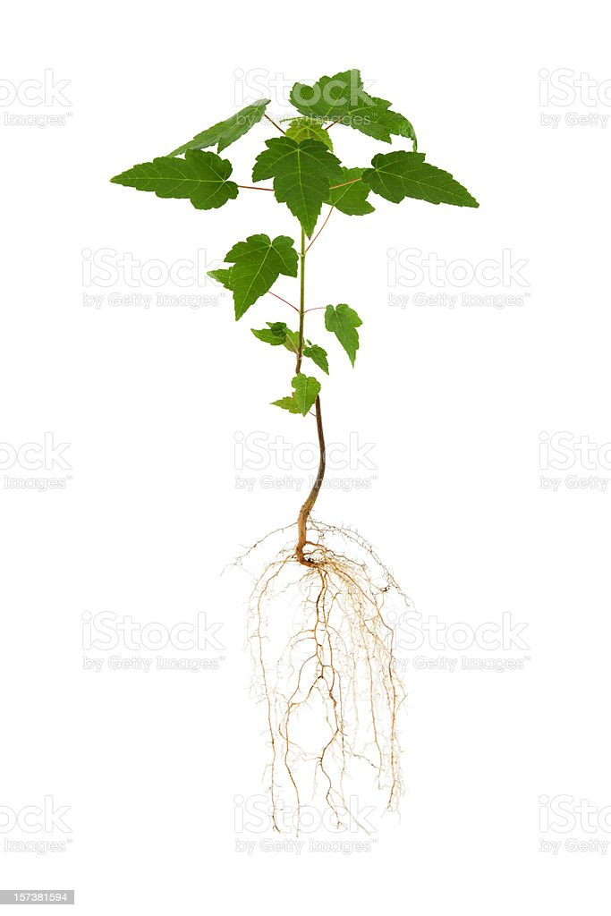 Maple Tree and Roots royalty-free stock photo