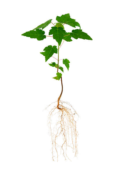 Maple Tree and Roots  root hair stock pictures, royalty-free photos & images