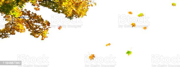 Photo of maple tree branch and fall leaves on white background