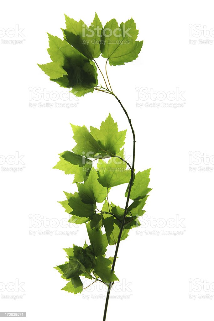 Maple tree branch royalty-free stock photo