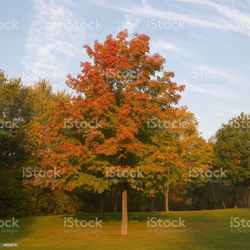 Maple Tree Fall Colors royalty-free stock photo