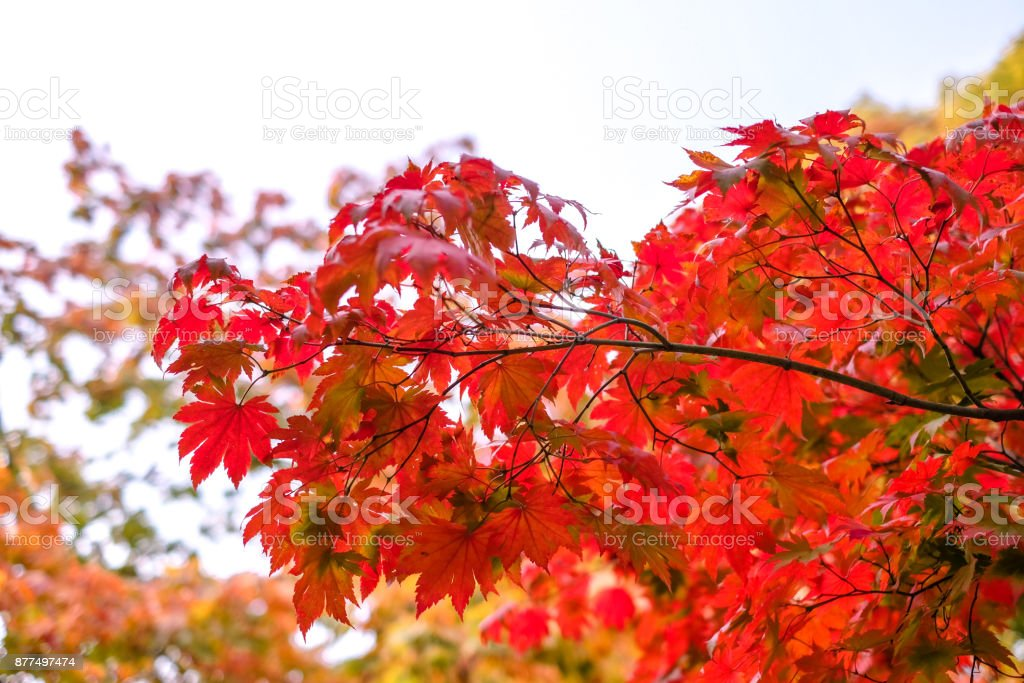 Maple tree have a leaf change color on the tree, colorful maple...