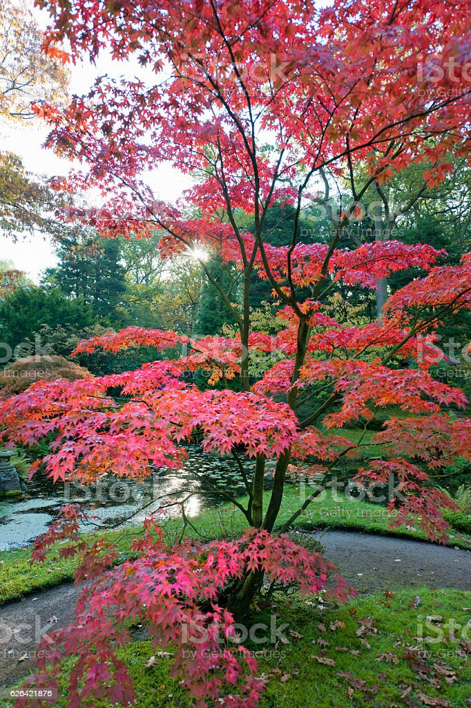 Maple tree in autumn Acer stock photo