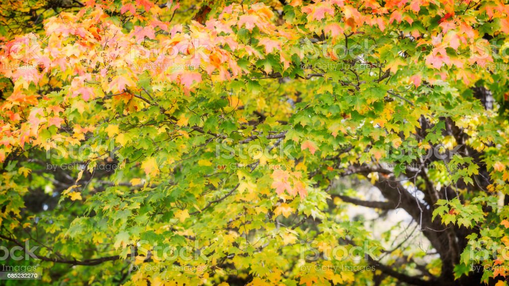 Maple Tree in Autumn royalty-free stock photo