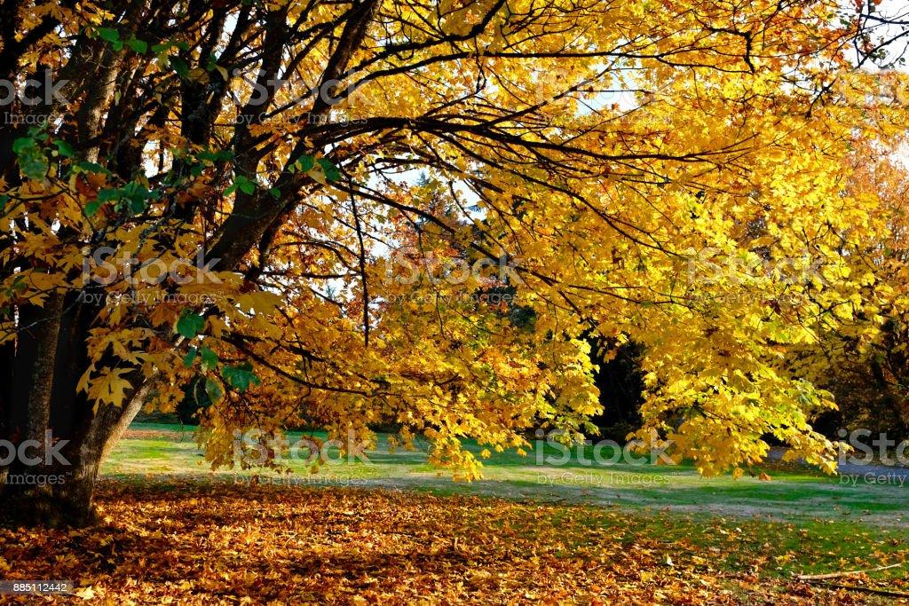 Maple tree in autumn. stock photo