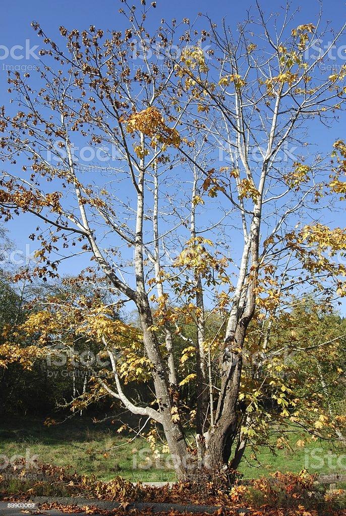 Érable en automne photo libre de droits