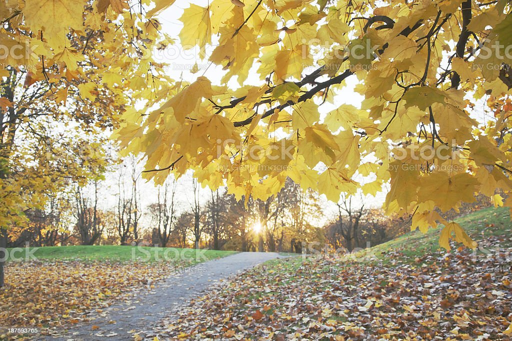 Maple tree in fall. royalty-free stock photo