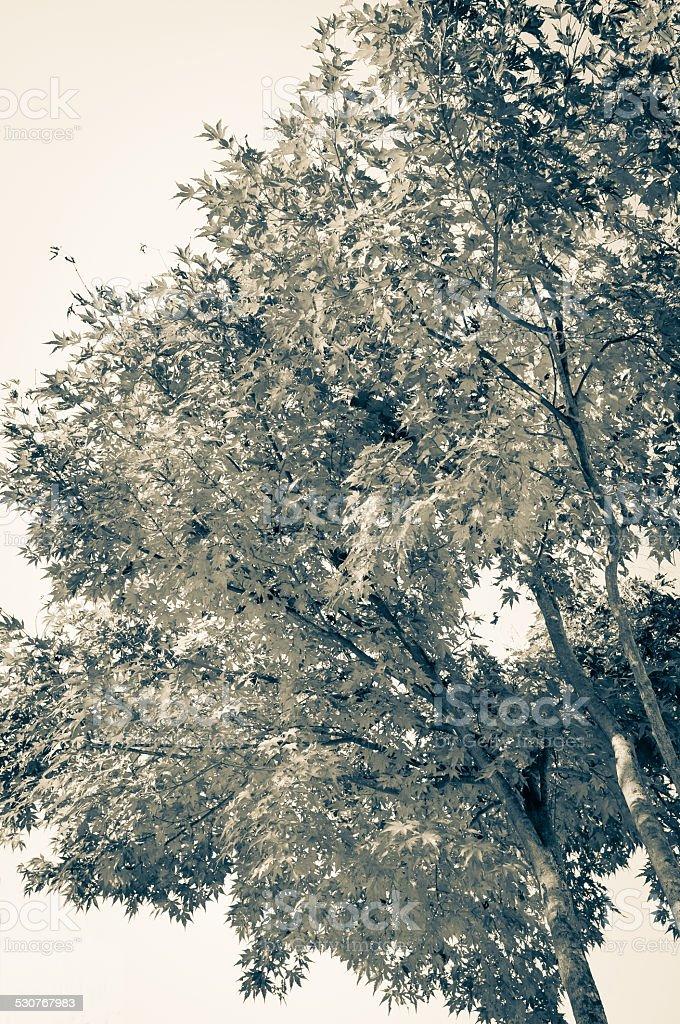 Maple tree in monochrome. stock photo