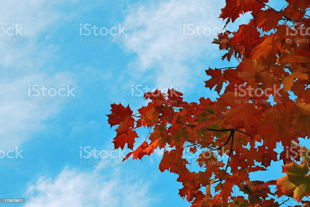 Maple tree in October royalty-free stock photo