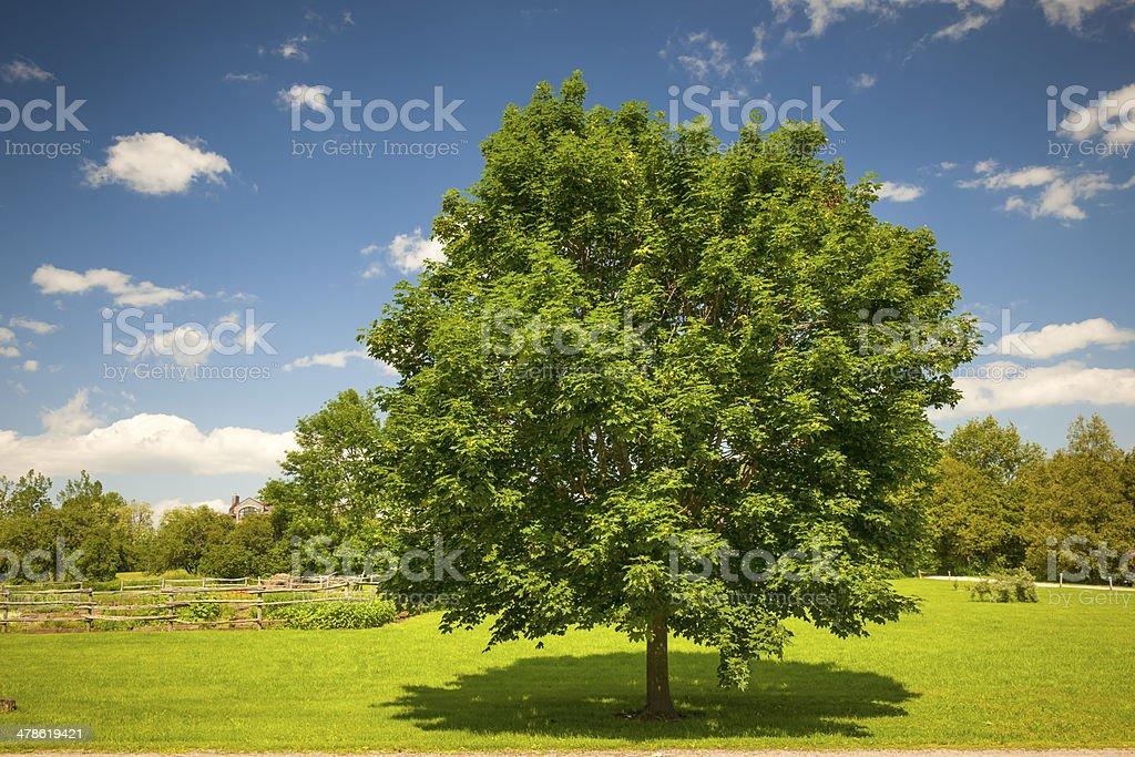 Maple tree in summer field stock photo