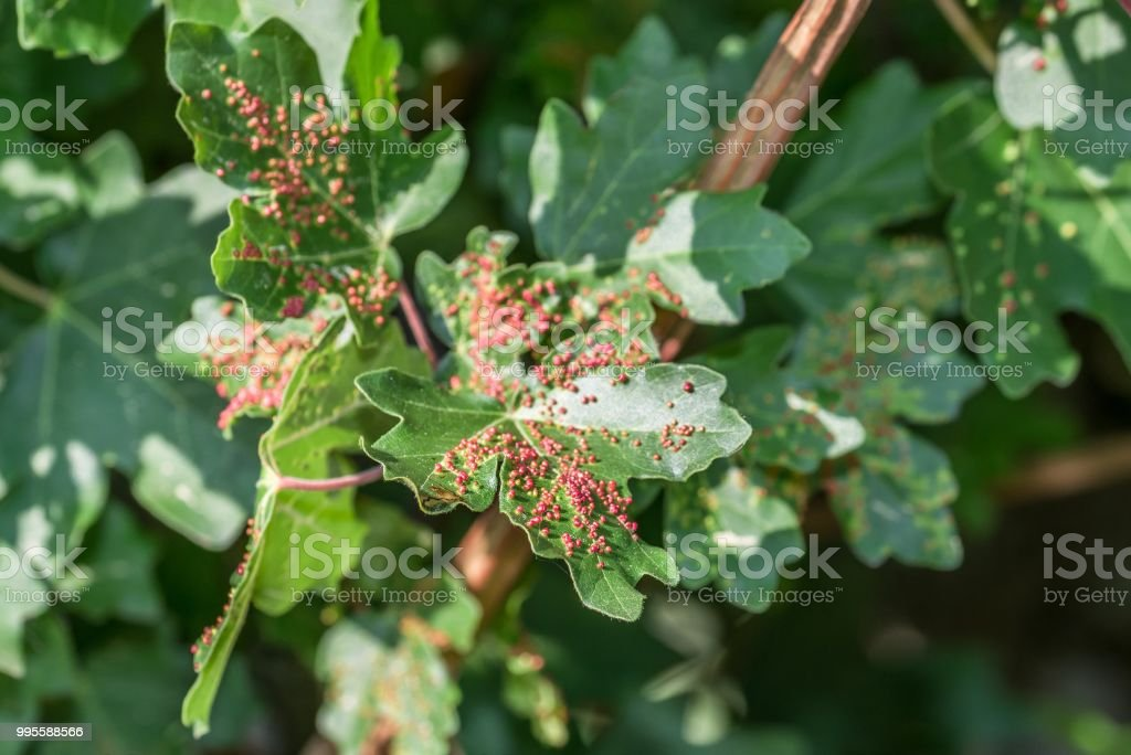 Maple Tree Infested With Gall Mites Stock Photo & More