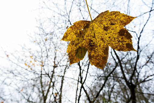 maple tree leaf in November - autumn leaves