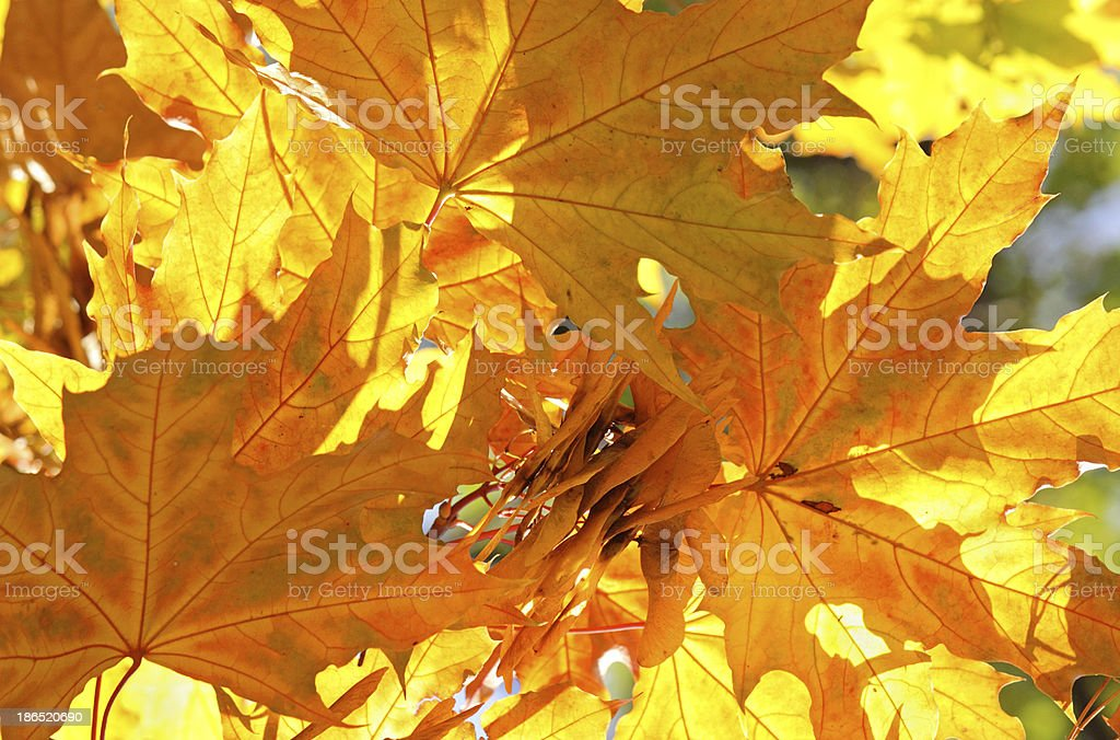 maple tree leaves at fall royalty-free stock photo