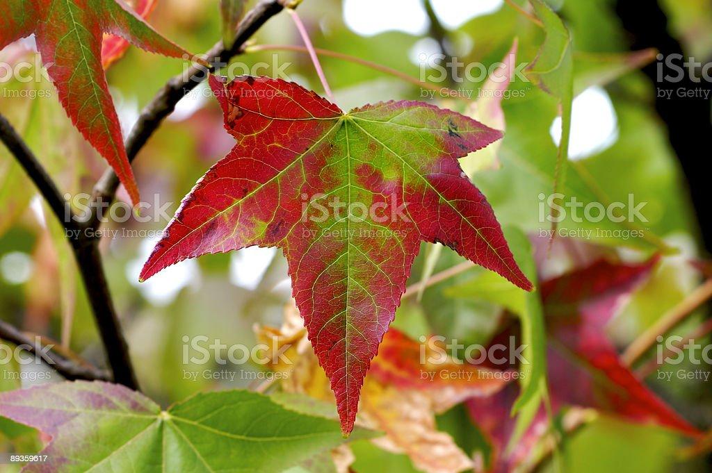 Maple tree leaves royaltyfri bildbanksbilder