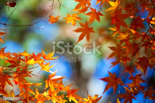 maple tree in fall of garden outdoor in japan.adobe rgb 1998 use.