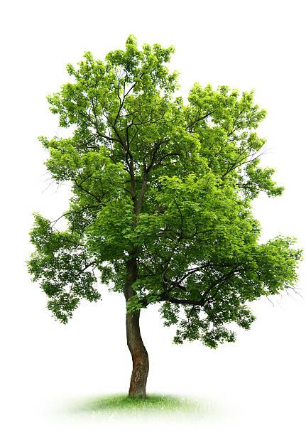 Ahorn Tree – Foto