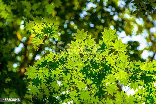 639809128istockphoto Maple Tree 487808646