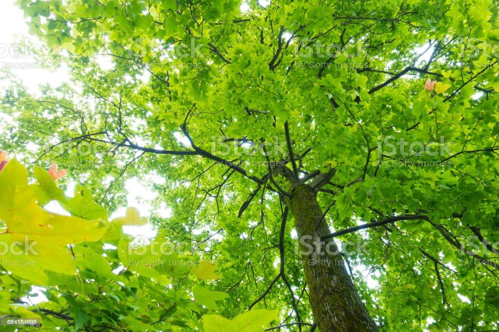 Maple Tree foto stock royalty-free